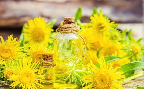Желтые цветы девясила и масло из них