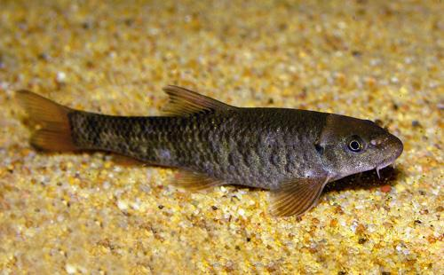 Рыба гарра руфа