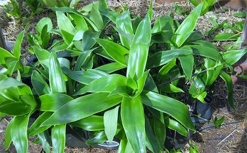 Комнатное растение золотой ус